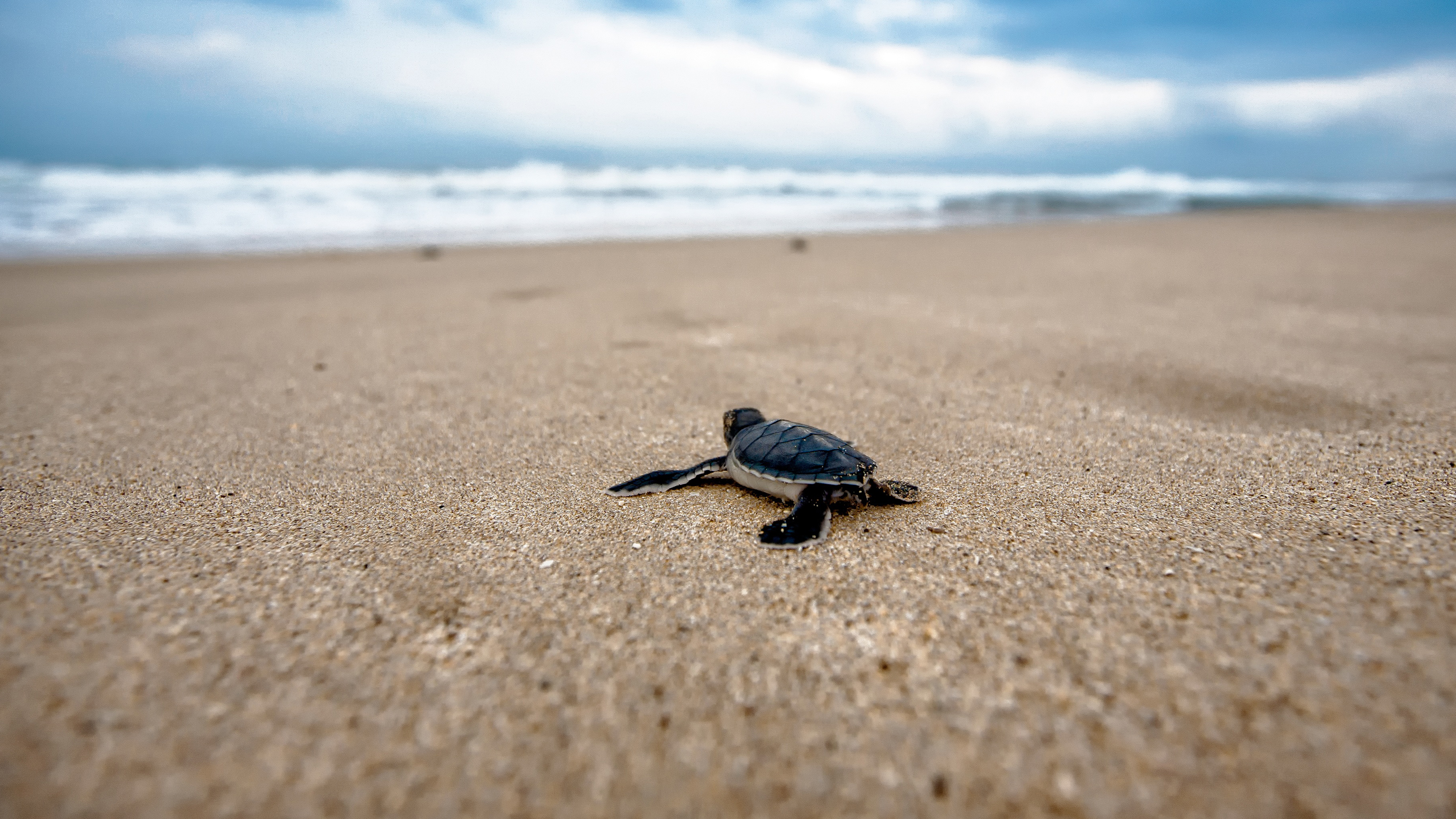 4k Baby Sea Turtle Wallpaper Hd