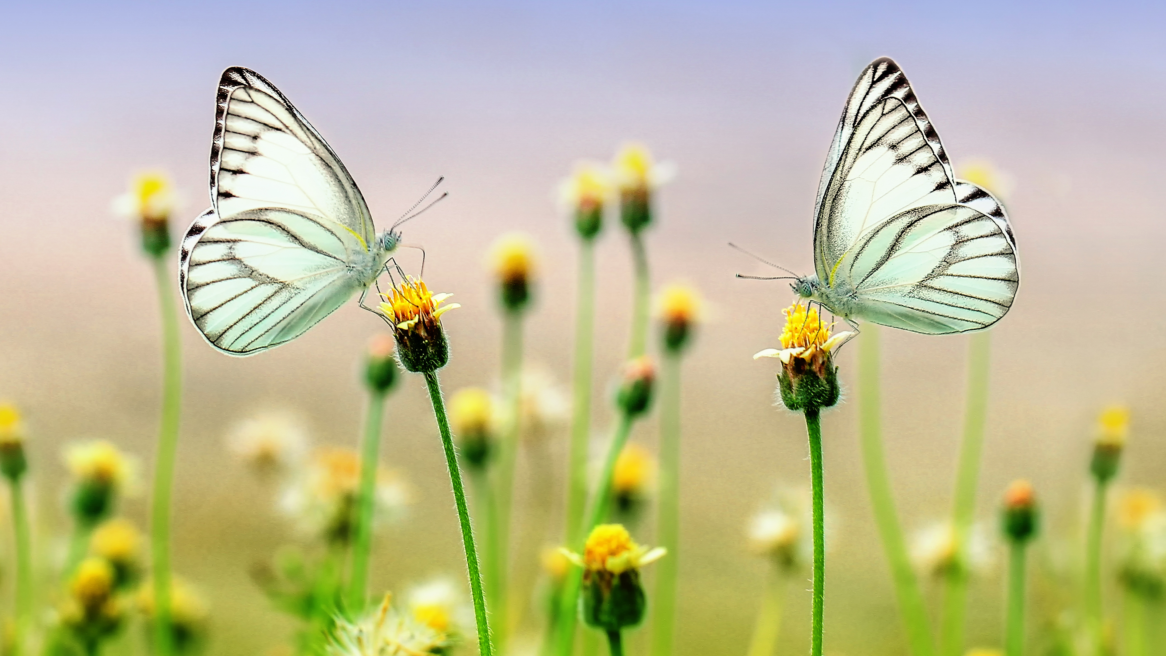 4k Butterfly Heaven Wallpaper Hd