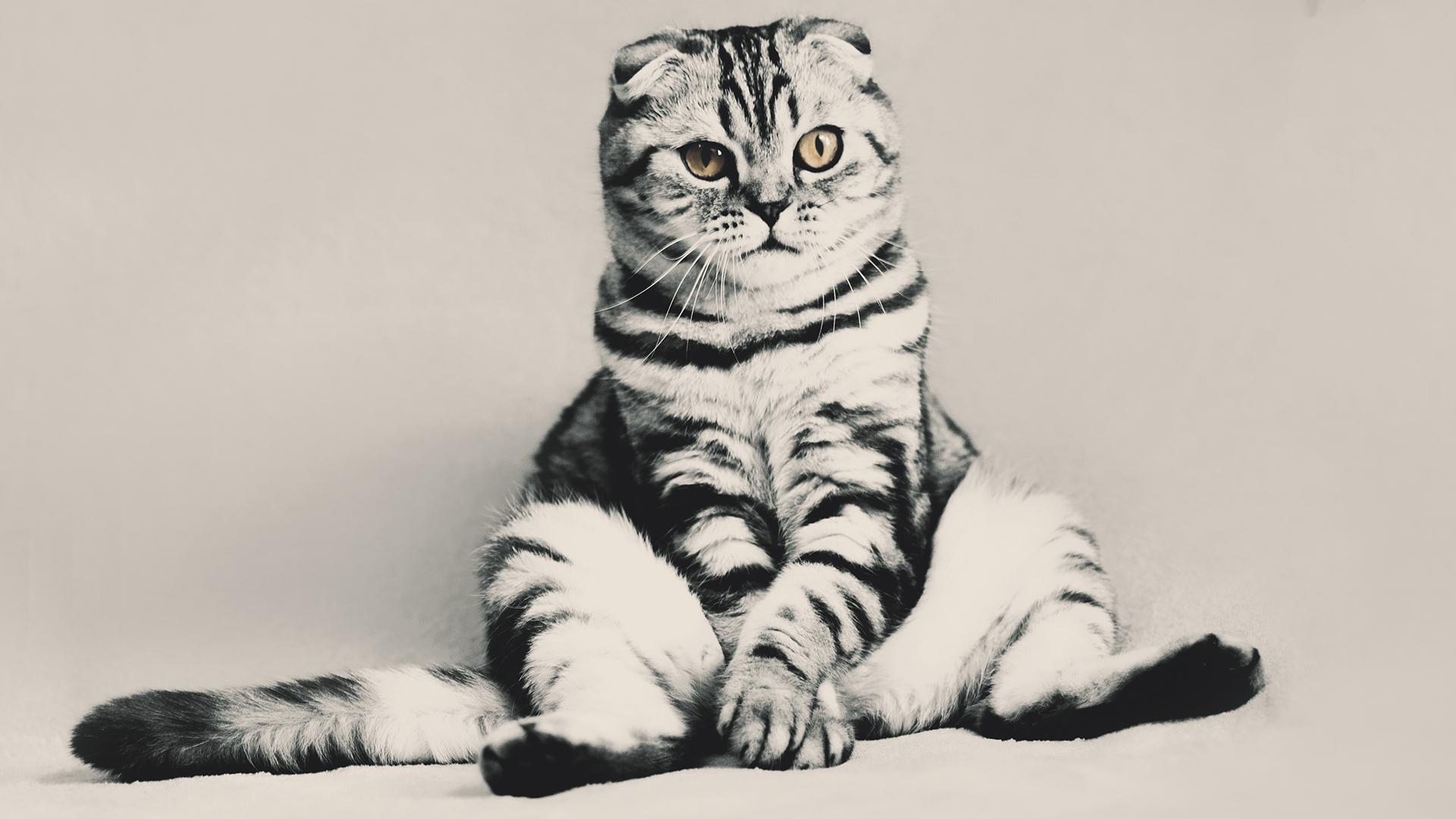 Funny Kitten Laptop Background