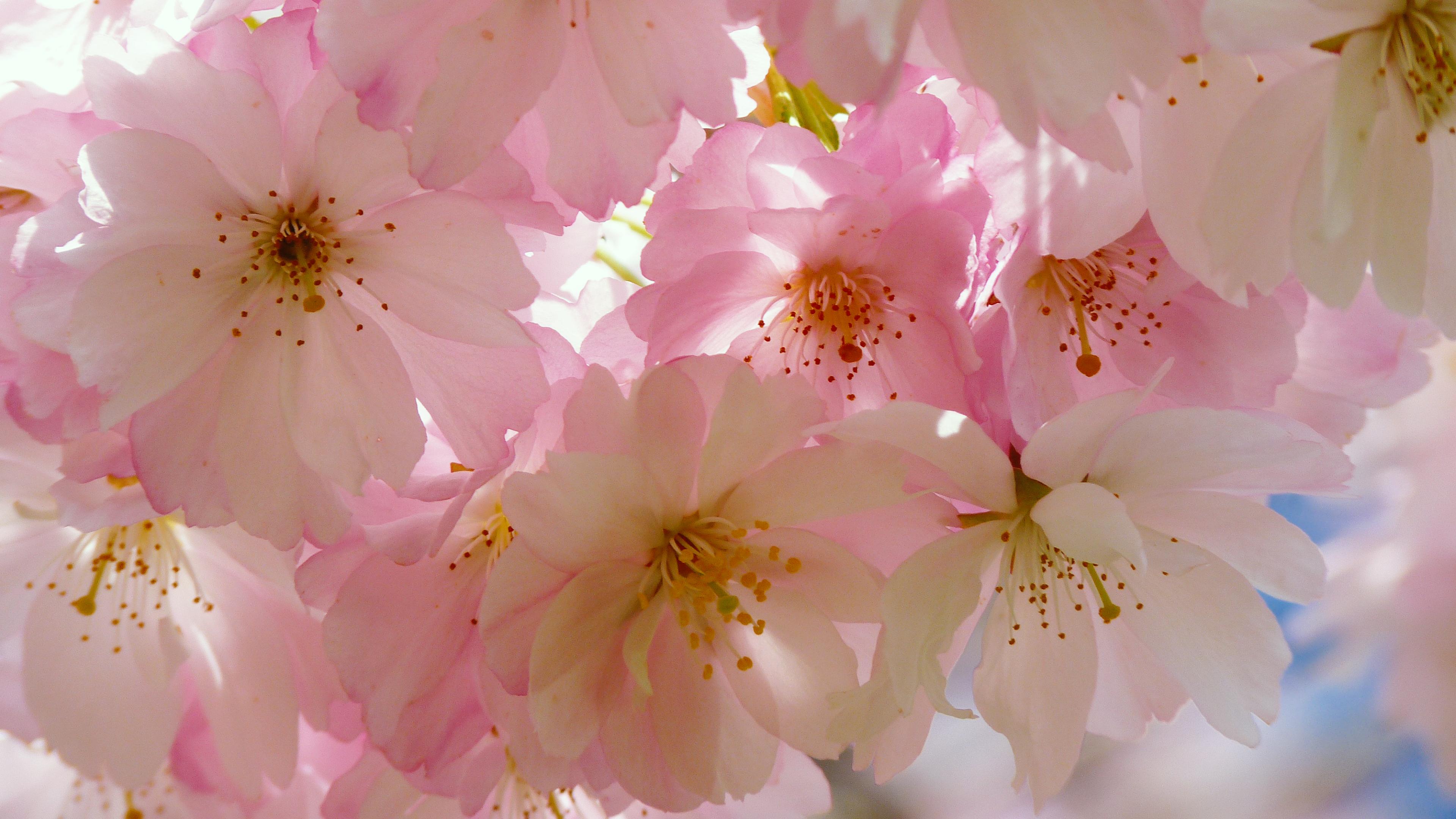 4k Japanese Cherry Blossom Wallpaper Hd