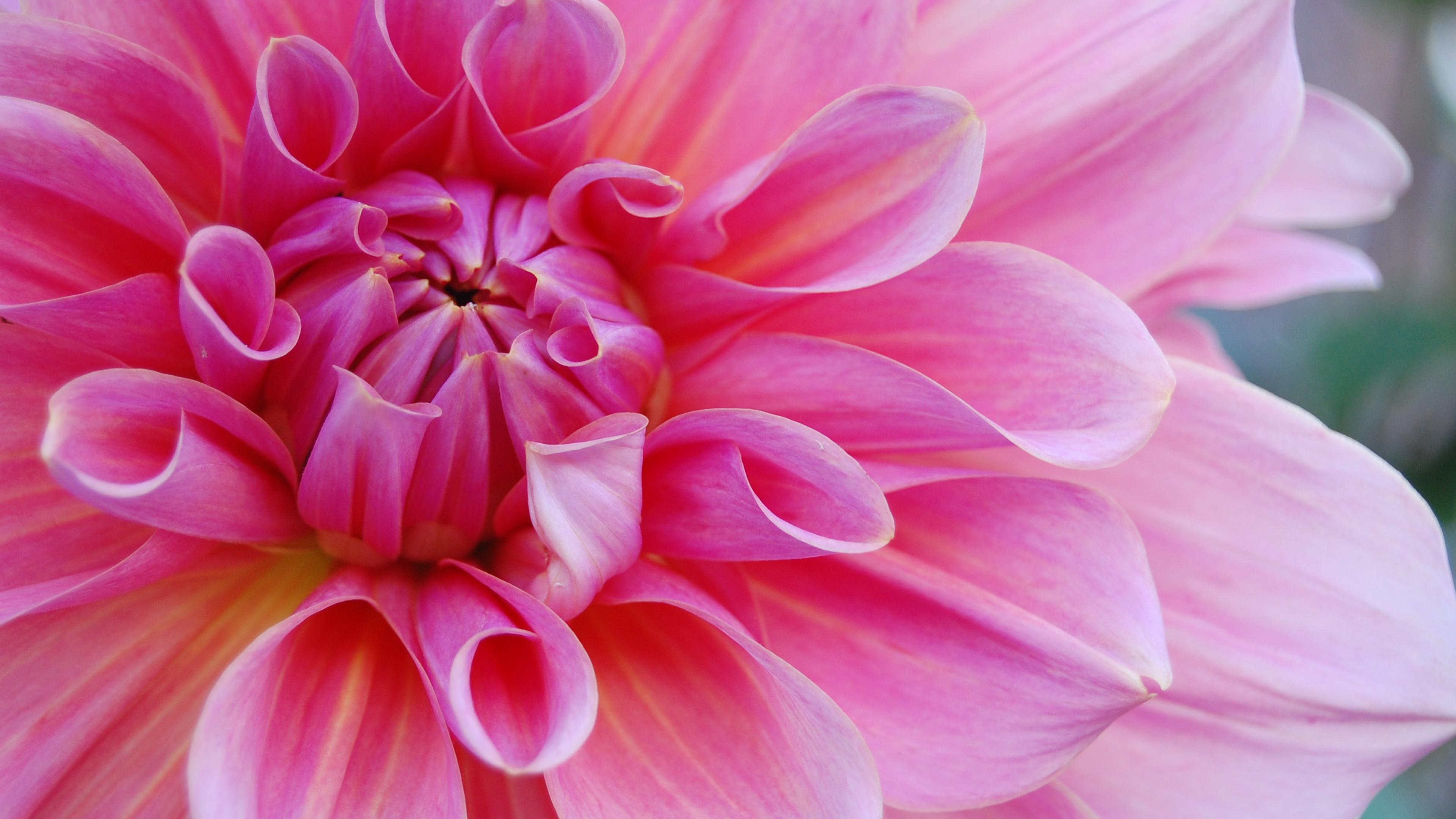 4k Pinkest Flower Wallpaper Hd