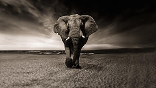 African Elephant 4k