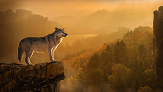 autumn wolf wallpaper
