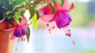fuchsia flowers wallpaper