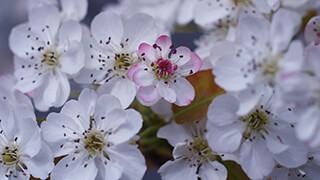 white flower blossoms wallpaper