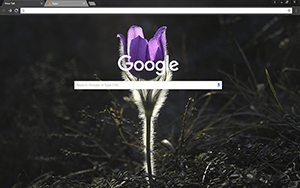 Pasque Flower Google Chrome Theme