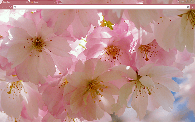 Japanese Cherry Blossom Google Chrome Theme