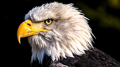Amazing Eagle 4K Google Background