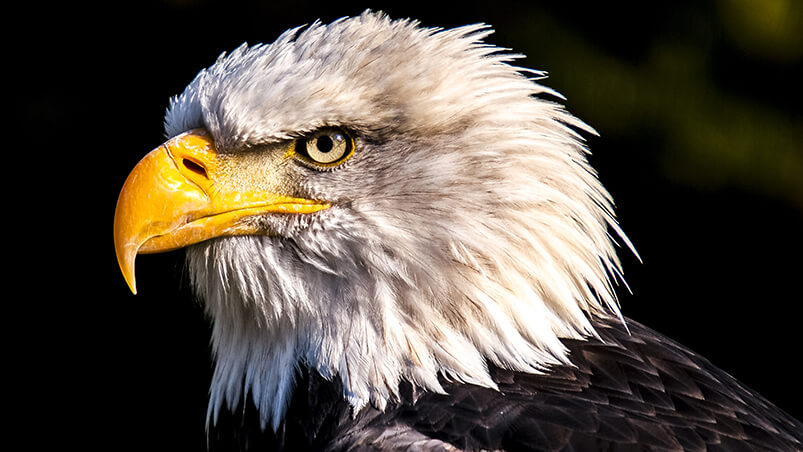 Amazing Eagle 4K Google Background ...