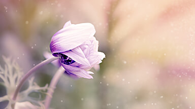 Anemone Flower Google Background