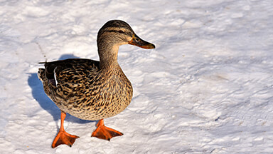 Another Duck In The Snow Google Background
