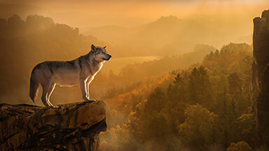 Autumn Wolf Google Background