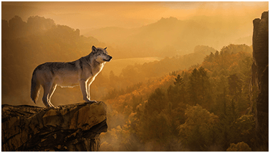 Autumn Wolf ChromeBook Wallpaper