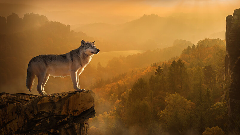 Autumn Wolf Chromebook Wallpaper ...