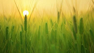 Barley Field Google Background