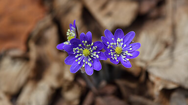 Blue Liverwort Flowers Google Background
