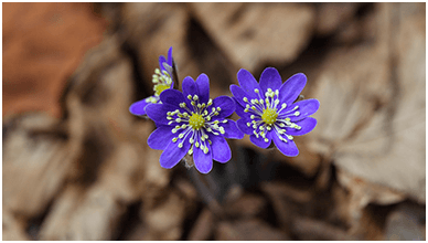 Blue Liverwort Flowers ChromeBook Wallpaper