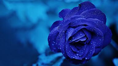 Blue Rose Google Background