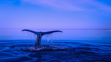 Blue Whale Tail Chromebook Wallpaper