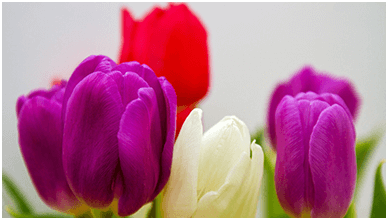 Colorful Tulip Flowers ChromeBook Wallpaper