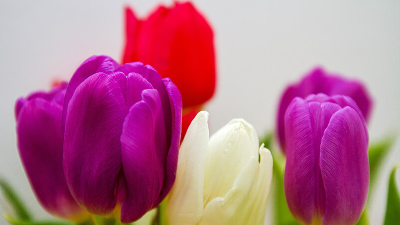 Colorful Tulip Flowers Chromebook Wallpaper ...