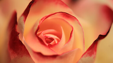Creamy Rose 4K Google Background