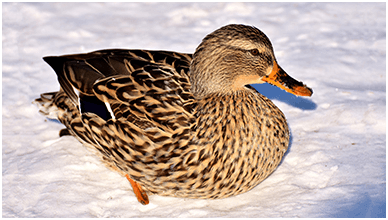 Duck In Snow ChromeBook Wallpaper