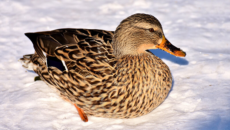 Duck In Snow Chromebook Wallpaper ...