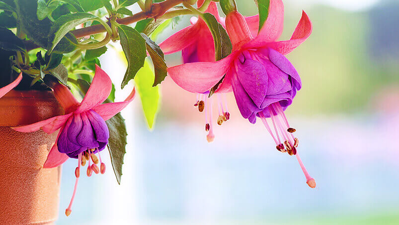 Fuchsia Flowers Google Background ...