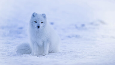 Iceland Fox Google Background