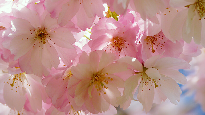 Japanese Cherry Blossom Google Background ...