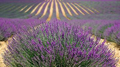 Lavender Chromebook Wallpaper