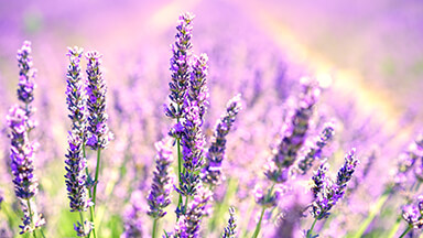 Lavender Blossoms Chromebook Wallpaper