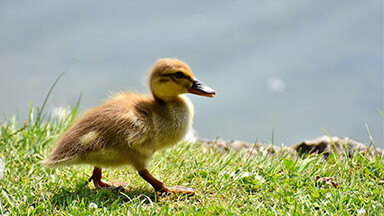 Little Baby Duck Google Background