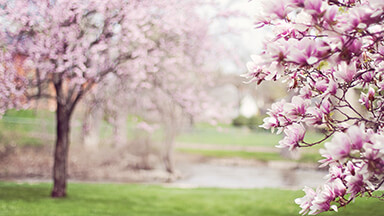 Magnolia Trees Google Background