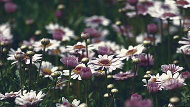 Marguerite Flowers Chromebook Wallpaper