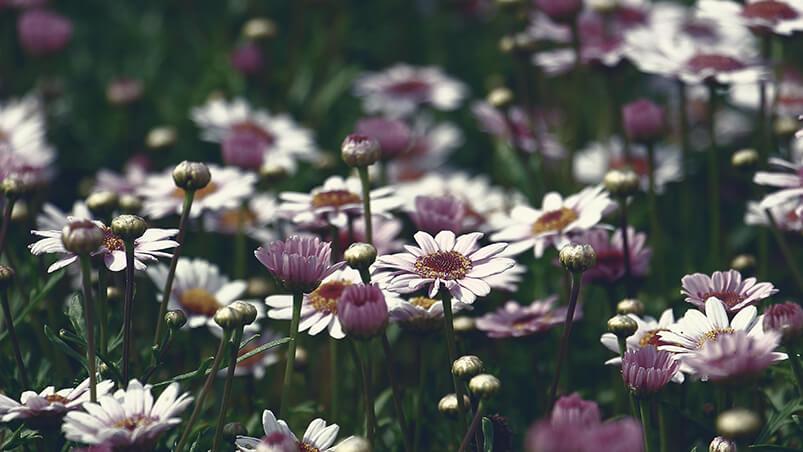 Marguerite Flowers Google Background ...