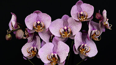 Orchids Chromebook Wallpaper