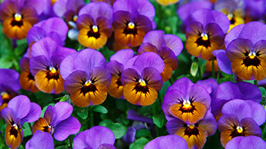 Pansies Google Background