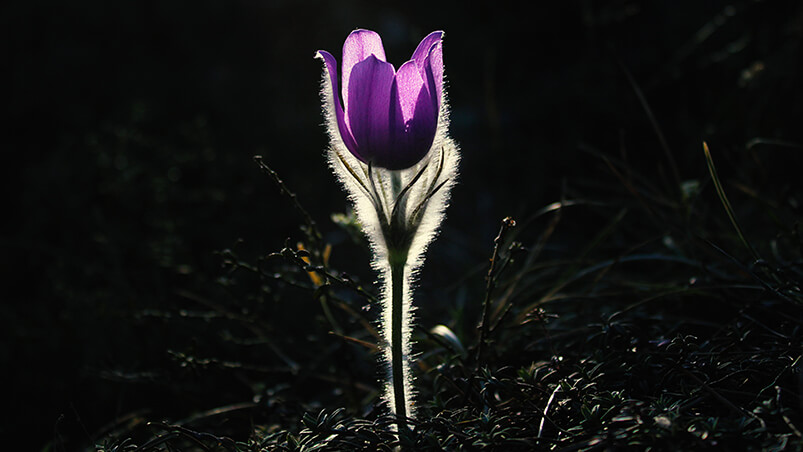 Pasque Flower Google Background ...