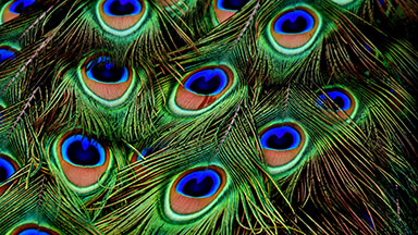 Peacock Feathers Google Background