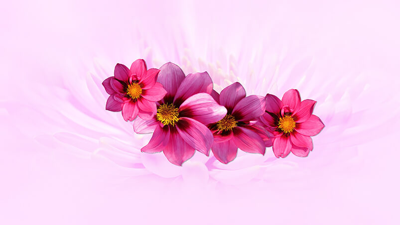 Pink Dahlia Chromebook Wallpaper ...