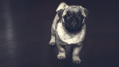 Pug Puppy Google Background