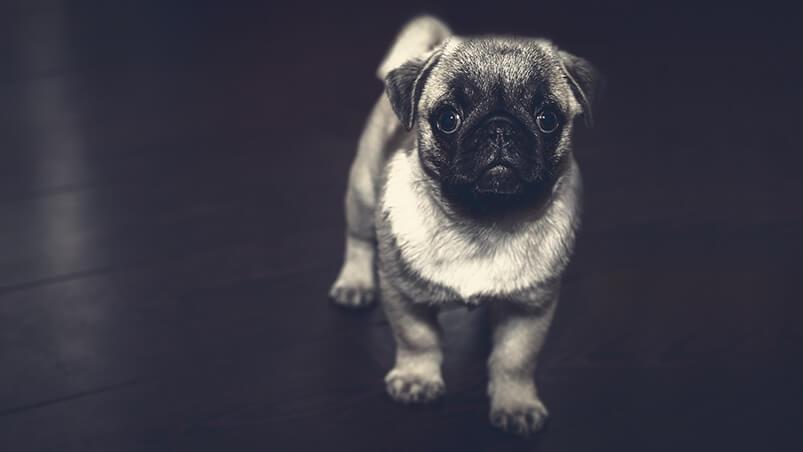 Pug Puppy Google Background ...