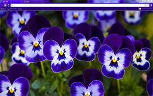Purple Pansy Chrome Theme