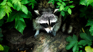 Raccoon Google Background