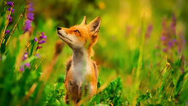 Red Fox Google Background
