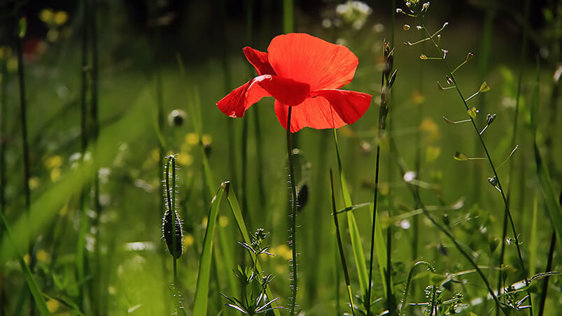 Red Poppy Flower Chromebook Wallpaper ...