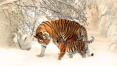 Siberian Tigers Chromebook Wallpaper