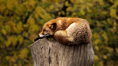 Sleeping Fox Chromebook Wallpaper